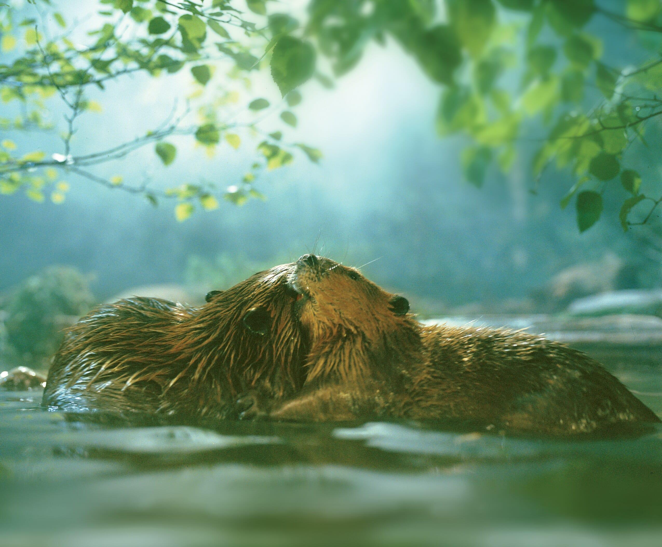 Beavers (1988)